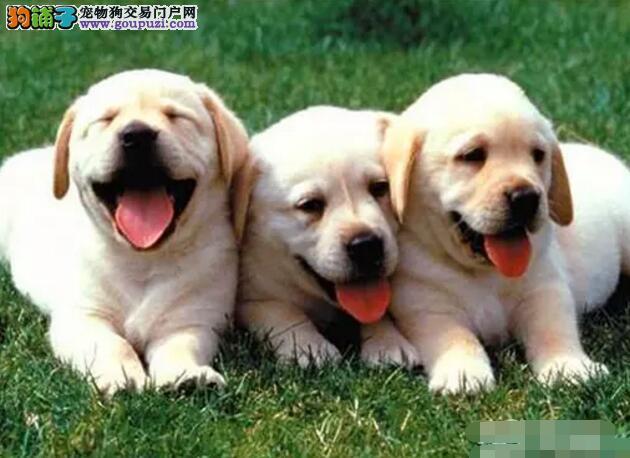 本地出售高品质拉布拉多宝宝购犬可签协议