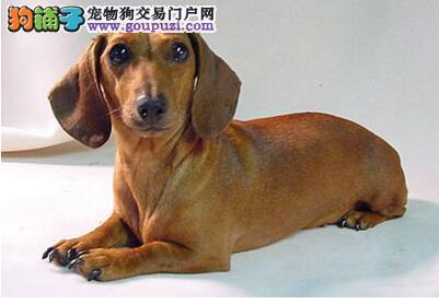 吉林腊肠犬幼犬价格 吉林腊肠犬多少钱一只腊肠犬图片