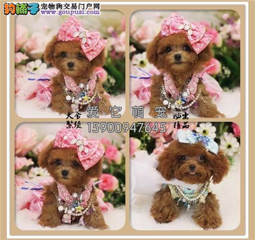 重庆正规犬舍泰迪极品自家养迷你全国发货