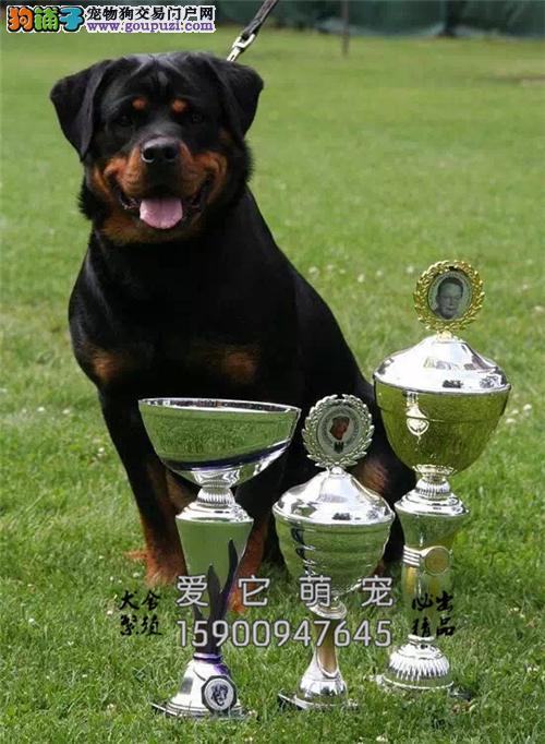 江西罗威纳听话犬送用品保健康全国发货