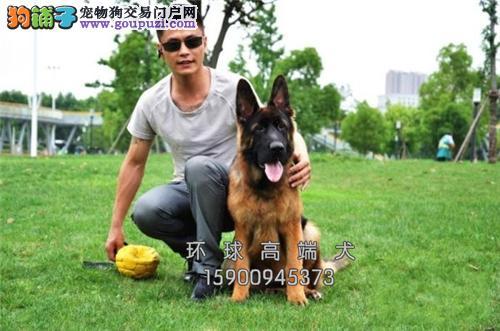 天津出售德牧低价出售好养小狗狗全国发货