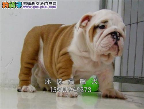 天津英牛自家养纯种幼犬驱虫已做全国发货