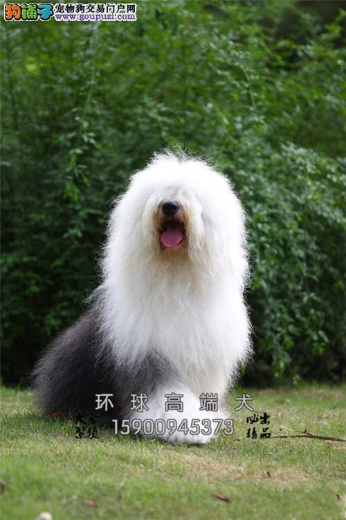 天津最大犬舍边牧小幼犬双血统全国发货