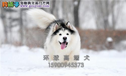 山东出售阿拉斯加健康可爱熊版犬全国发货