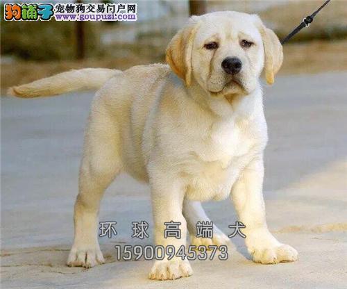 山东犬舍拉布拉多三个月上门打折全国发货