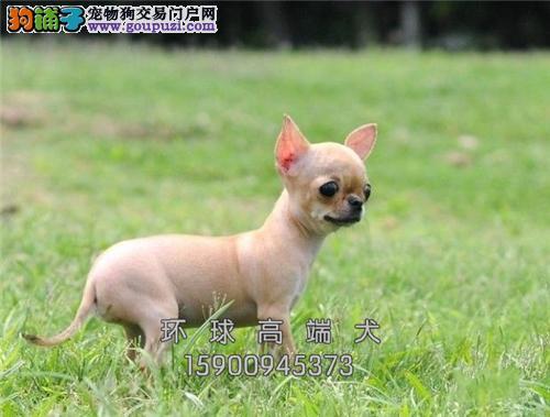 江苏最大犬舍吉娃娃健康乖巧小全国发货