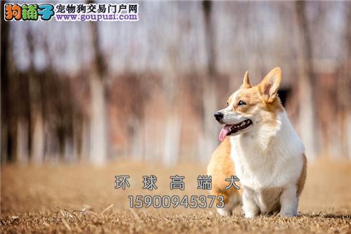 江苏专业繁殖柯基漂亮三个月全国发货