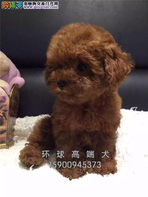 辽宁出售泰迪极品健康熊全国发货