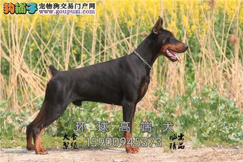 辽宁杜宾乖巧三个月犬包纯种全国发货