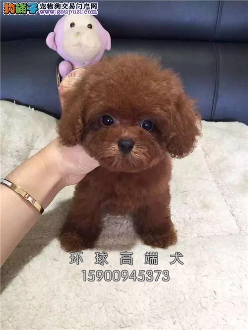 辽宁犬舍泰迪可爱帅气玩具犬全国发货