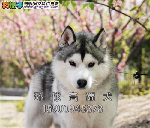 福建犬舍哈士奇极品顶级狗狗全国发货