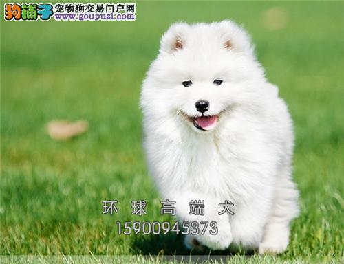 云南正规犬舍萨摩耶新生带证书全国发货