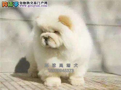 云南正规犬舍松狮出售金黄全国发货