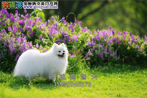 云南博美好养小犬全国包运全国发货