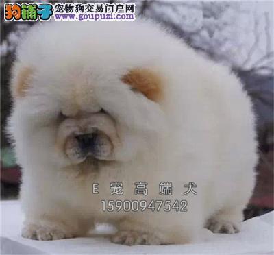 新疆正规犬舍松狮肥嘟嘟小熊猫全国发货