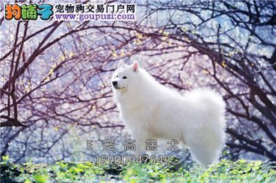 四川萨摩耶乖巧微笑天使狗狗全国发货