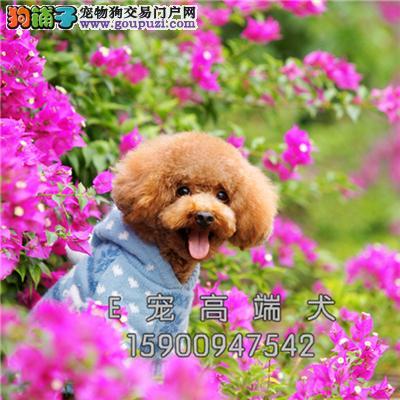 四川泰迪好养纯种袖珍狗狗包纯种全国发货