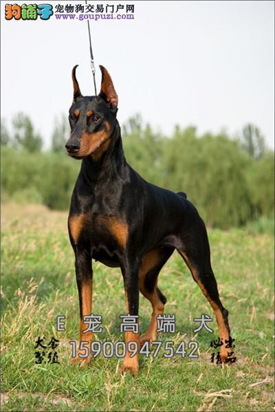 四川本地出售杜宾乖巧犬全国发货