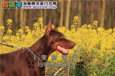 山东杜宾活泼可爱自家养幼犬全国发货