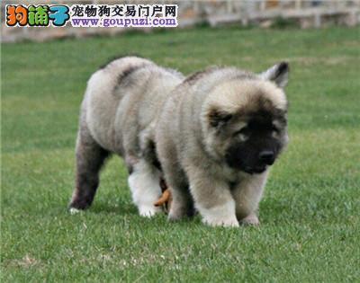 山东家养高加索乖巧低价出售犬全国发货