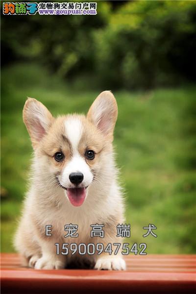 山东柯基出售小幼犬送用品全国发货