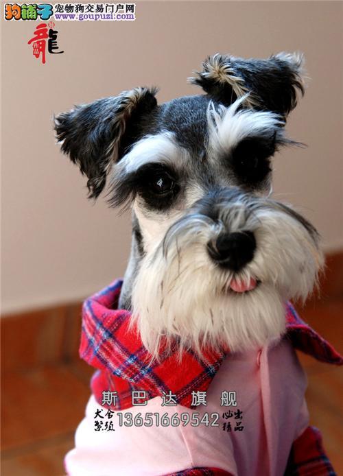 上海出售雪纳瑞小老头犬全国包运全国发货