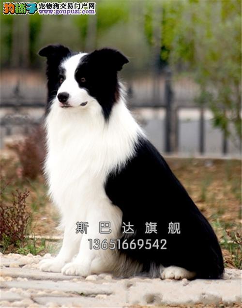 上海犬舍边牧纯种高品质小送用品全国发货