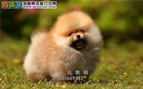 上海正规犬舍松狮听话帅气紫舌犬全国发货
