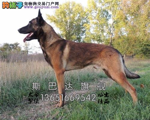 上海专业繁殖马犬好养幼犬待售全国发货