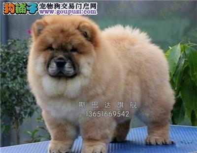 上海本地出售松狮听话胖胖全国发货