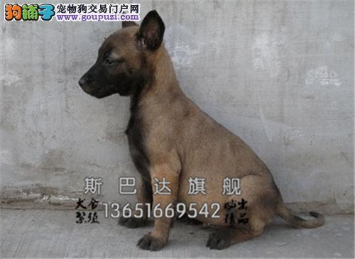上海犬舍马犬顶级送用品双血统全国发货