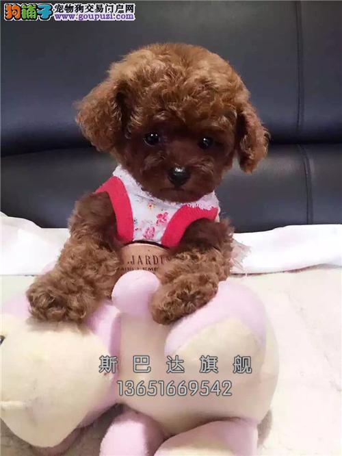 上海泰迪好养漂亮玩具犬幼犬待售全国发货