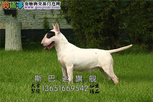 上海犬舍牛头梗听话听话幼犬全国发货