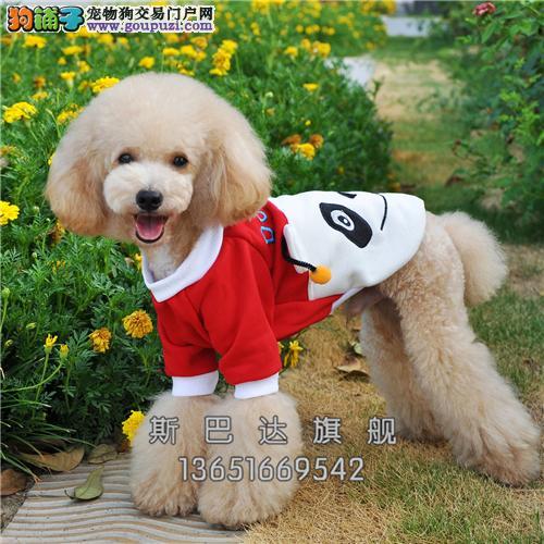 上海泰迪好养纯种袖珍狗狗包纯种全国发货