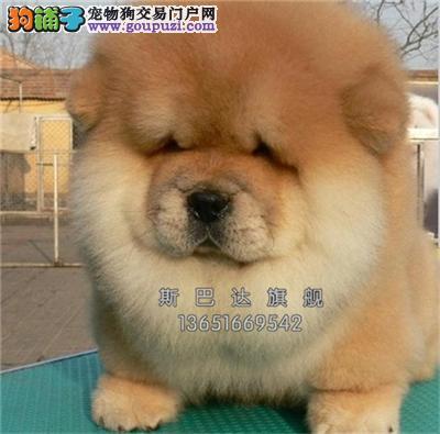 上海松狮活泼可爱出售紫舌幼犬全国发货