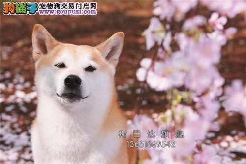 上海最大犬舍柴犬乖巧漂亮懂事全国发货