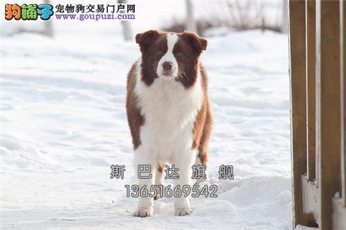 四川边牧活泼可爱宽鼻线幼犬全国发货