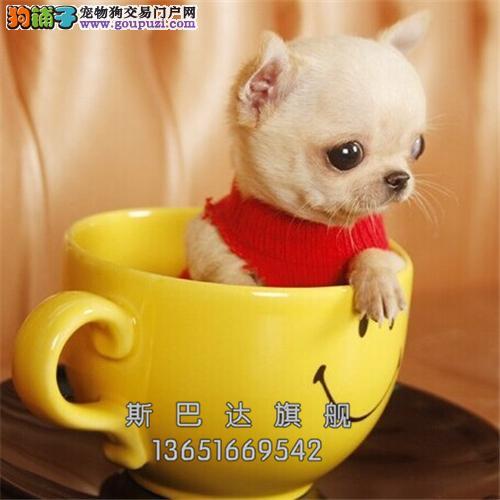 四川出售吉娃娃聪明三个月黄花白全国发货
