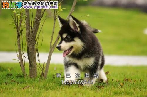 四川犬舍阿拉斯加聪明熊版幼犬全国发货