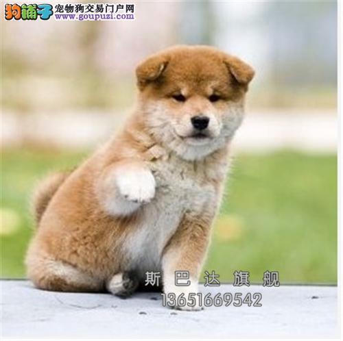 四川出售柴犬日本奶狗驱虫已做全国发货