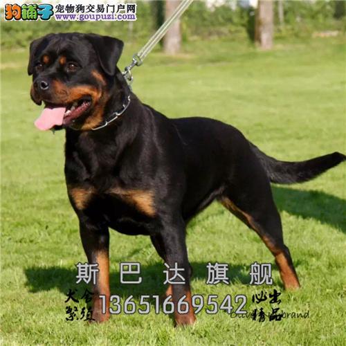 江苏出售罗威纳听话护卫犬保健康全国发货