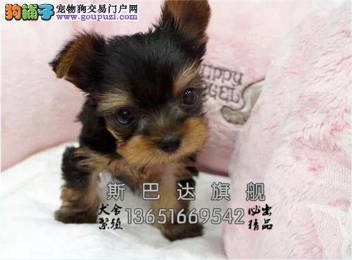 重庆出售约克夏听话小疫苗已做全国发货
