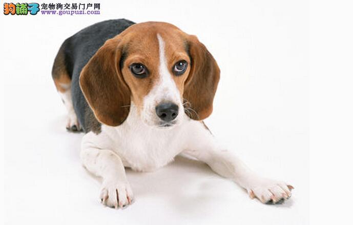 百分百健康纯种比格犬成都热卖中终身售后保障