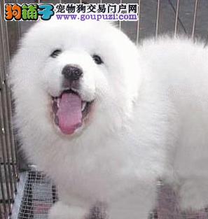 石家庄家养熊版大白熊纯种健康大白熊公母都有签协议