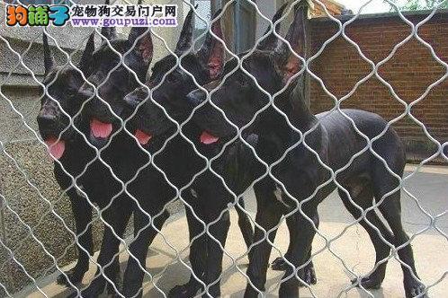 CKU认证犬舍 专业出售极品 大丹犬幼犬当日付款包邮