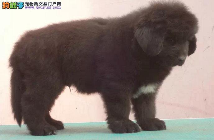 纽芬兰犬武汉最大的正规犬舍完美售后专业繁殖中心值得信赖2