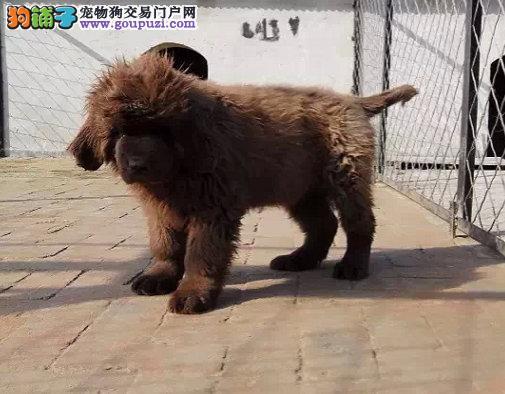 出售纯种健康的纽芬兰犬幼犬价格美丽非诚勿扰1