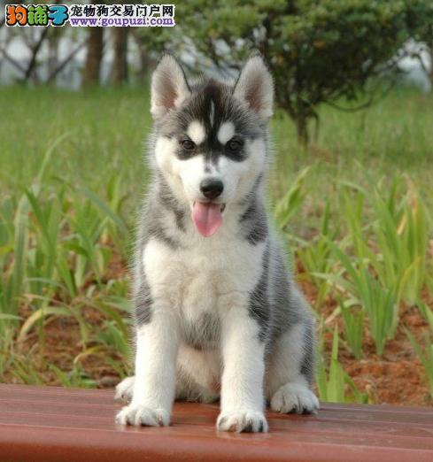 廊坊出售极品哈士奇幼犬多只包养活三个月有问题可退换