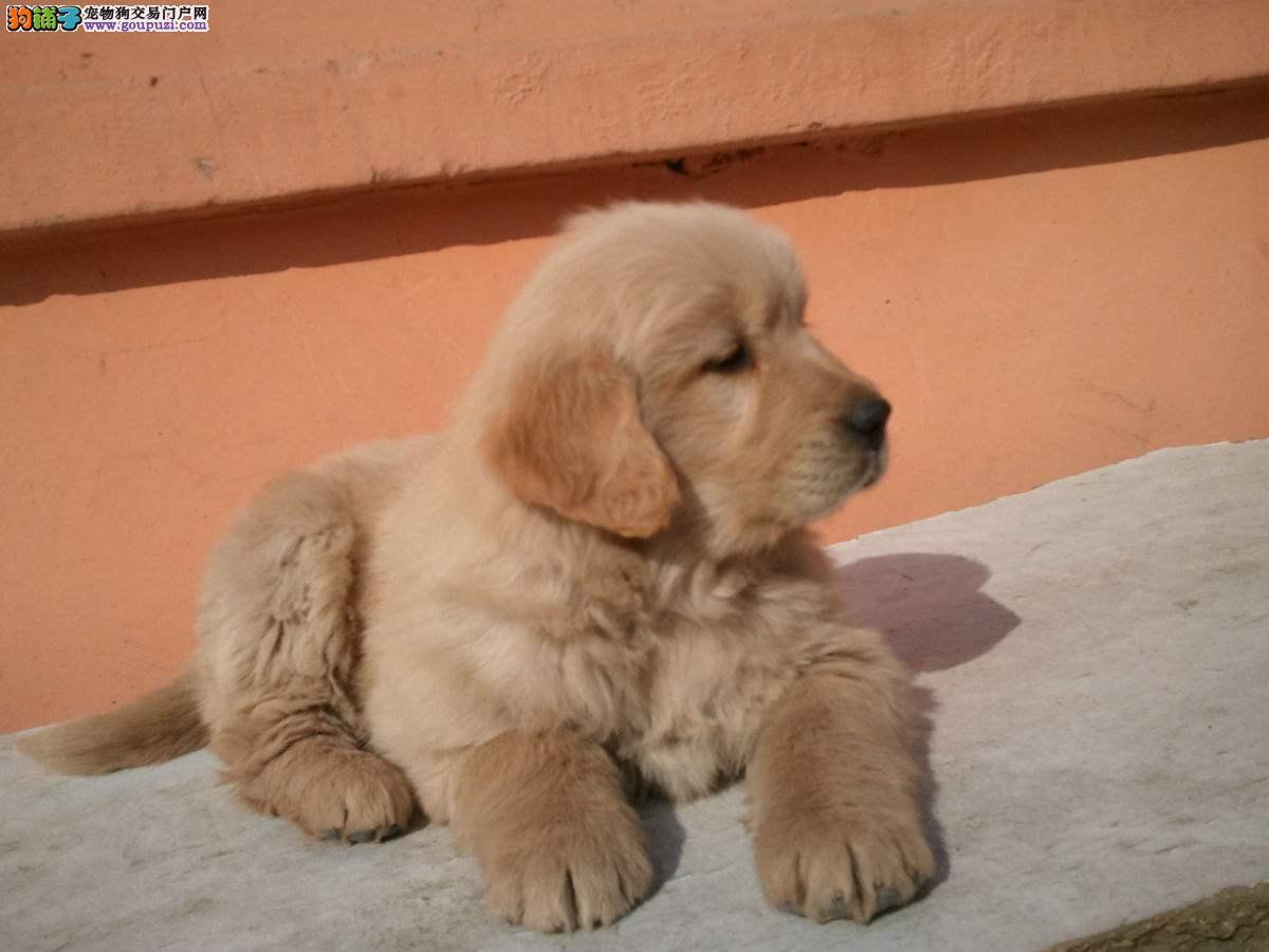 精品金毛幼犬一对一视频服务买着放心终身质保终身护养指导
