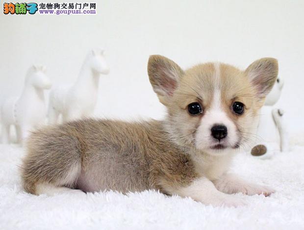 武汉售柯基幼犬 威尔士柯基犬幼犬疫苗驱虫已做可挑选